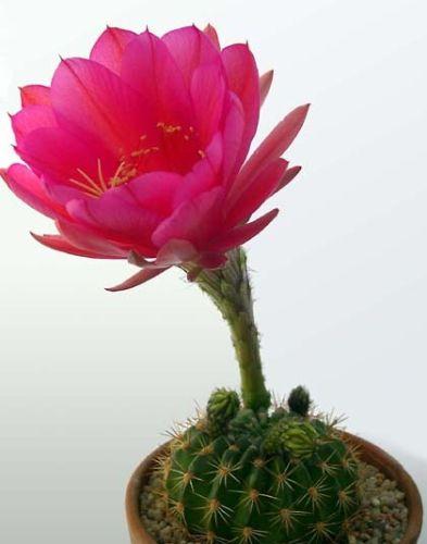 Echinopsis kermesina syn: Pseudolobivia kermesina seeds