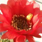 Echinopsis obrepanda v purpurea rot  semillas