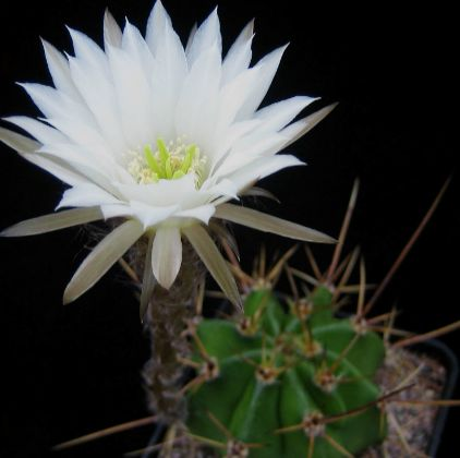 Echinopsis rhodotricha Easter Lily Cactus seeds