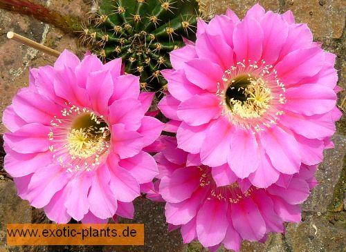 Echinopsis species (pink) syn: Trichocereus species pink seeds