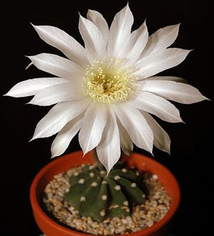Echinopsis subdenudata Easter lily cactus seeds