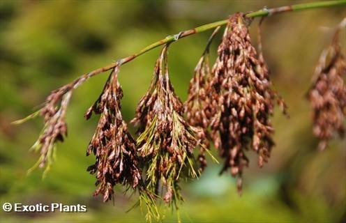Elegia capensis horsetail restio seeds