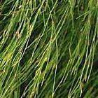 Elegia capensis cola de caballo semillas