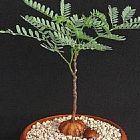 Elephantorrhiza burkei Caudex Samen