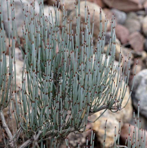 Ephedra intermedia Zhong Ma Huang seeds