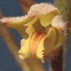Eria tomentosa Orchideen Samen
