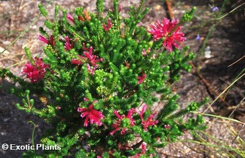 Erica abietina heath seeds