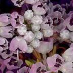 Erica canaliculata  cемян