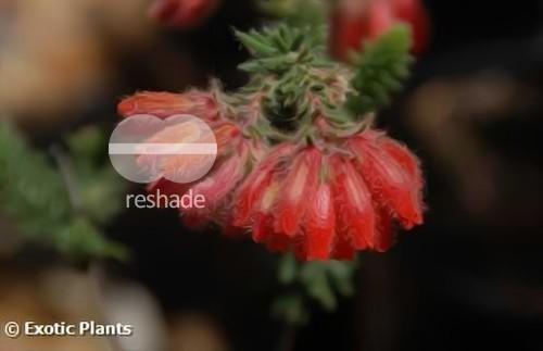 Erica cerinthoides heath seeds