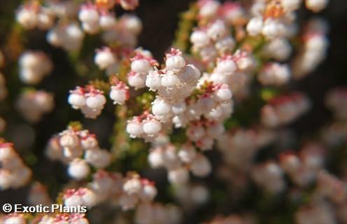 Erica formosa heath seeds
