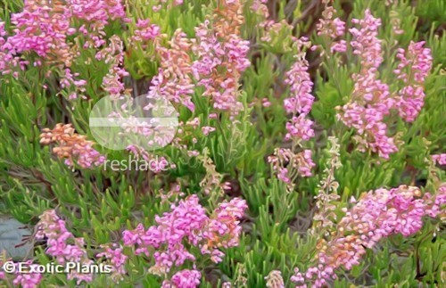 Erica gracilis heath seeds