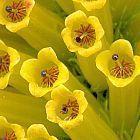 Erica patersonia  cемян