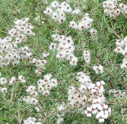 Eriocephalis africanus wild rosmary seeds