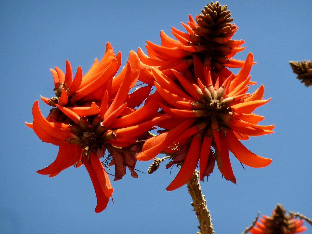 Erythrina lysistemon coral tree seeds
