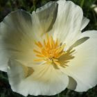 Eschscholzia californica Alba Goldmohn - Schlafm?tzchen Samen