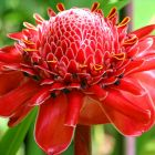 Etlingera elatior Red Fackelingwer - Red Torch Ginger Samen