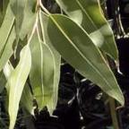 Eucalyptus citriodora Эвкалипт лимонный cемян