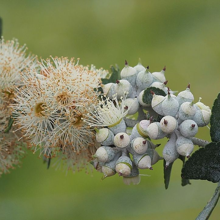 Eucalyptus crenulata  semillas