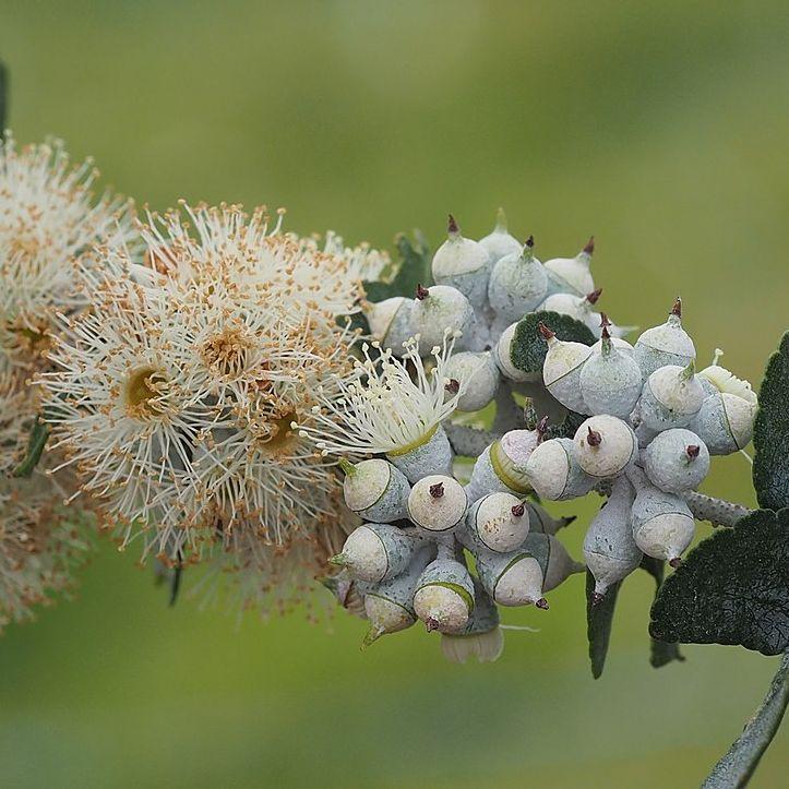 Eucalyptus crenulata  cемян