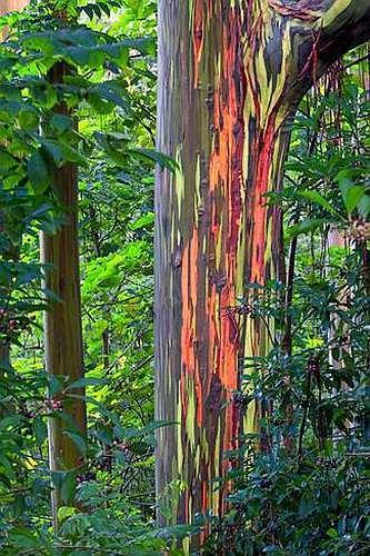 Eucalyptus deglupta Rainbow Eucalyptus - Mindanao gum - Rainbow gum seeds
