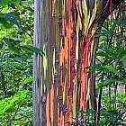 Eucalyptus deglupta Regenbogen Eukalyptus Samen