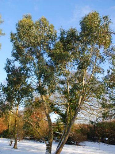 Eucalyptus pauciflora subsp. niphophila Snow Gum - White Sallee seeds