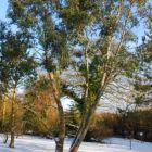Eucalyptus pauciflora subsp. niphophila Schnee-Eucalyptus Samen