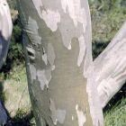 Eucalyptus pauciflora var. debeuzevillei Schnee-Eucalyptus Samen