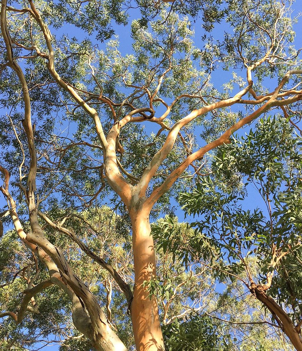 Eucalyptus punctata Eucalyptus - Mindanao gum seeds