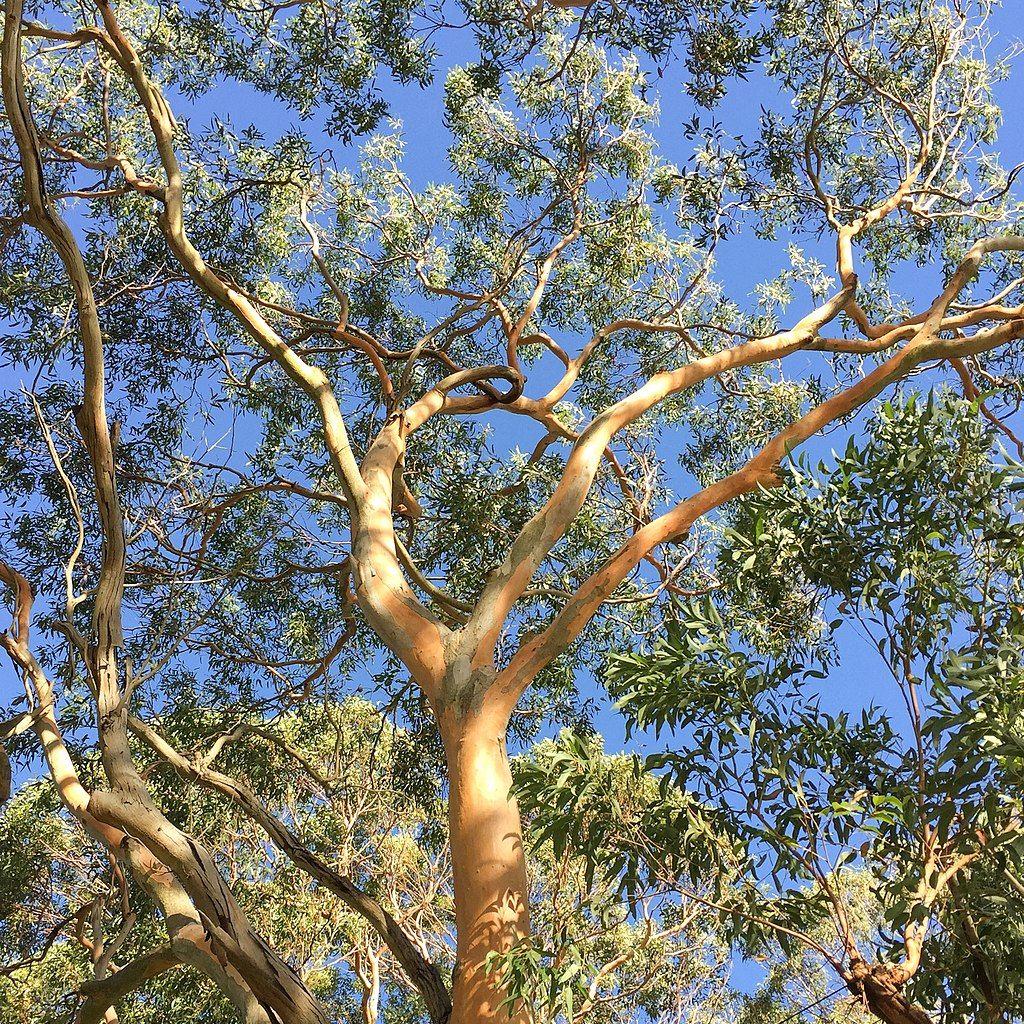 Eucalyptus punctata Eukalyptus Samen