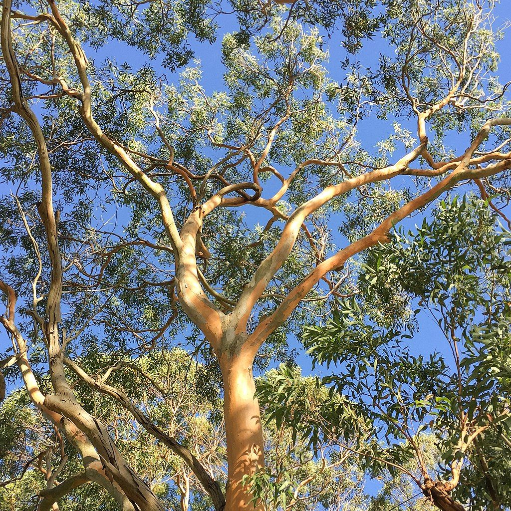 Eucalyptus punctata  semillas