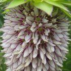 Eucomis bicolor  cемян