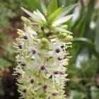Eucomis pallidiflora