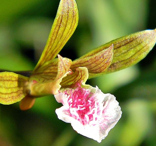 Eulophia graminea Chinese Crown Orchid seeds