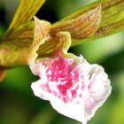 Eulophia graminea Orchideen Samen