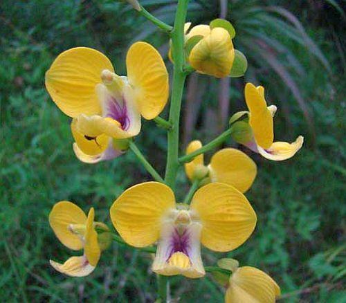 Eulophia speciosa orchids seeds