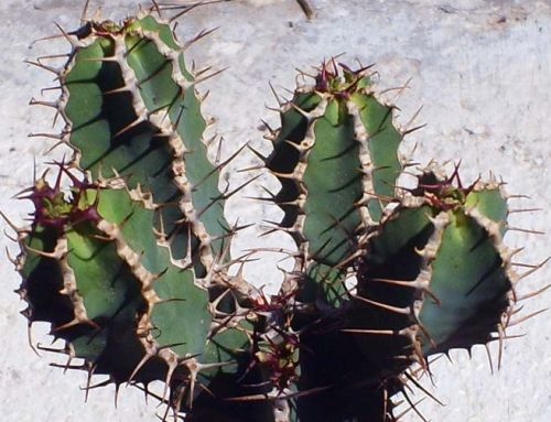 Euphorbia avasmontana Crown of Thorns seeds