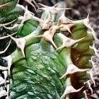 Euphorbia coerulescens Sukkulente Samen