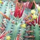 Euphorbia enopla Nadelkissen Euphorbia Samen