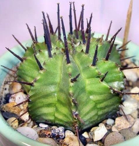 Euphorbia horrida african milk barrel seeds