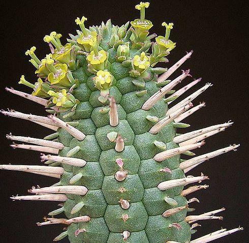 Euphorbia mammillaris Euphorbia seeds