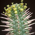 Euphorbia mammillaris Wolfsmilchgew?chse Samen
