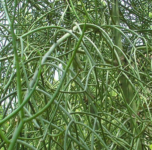 Euphorbia tirucalli pencil plant seeds