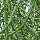 Euphorbia tirucalli Bleistiftstrauch Samen