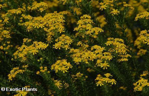 Euryops virgineus honey euryops seeds