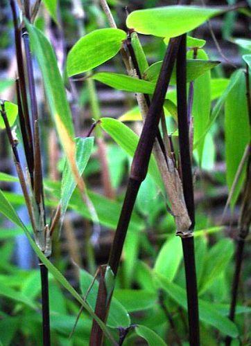 Fargesia yunnanensis hardy clumping bamboo seeds