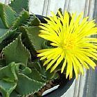 Faucaria britteniae planta suculenta semillas