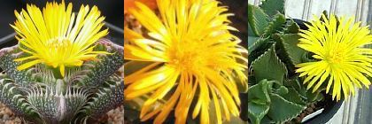 Faucaria species mix Tigers Jaw mixed species seeds