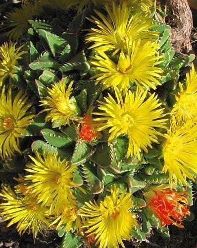 Faucaria subintegra Faucaria seeds