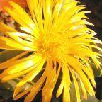 Faucaria subintegra planta suculenta semillas